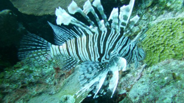 La llegada del pez león (Pterois volitans) a México en el año 2009 es uno de los factores que provocaron un cambio en el estado de salud del ecosistema arrecifal de la costa sur de Quintana Roo (Foto: Dra. Susel Castellanos.)
