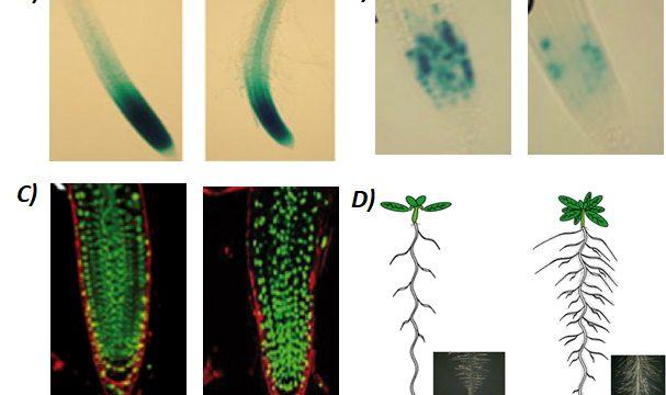 Efecto de los ciclodipéptidos producidos por la bacteria de P. aeruginosa sobre la arquitectura radicular de la planta modelo de A. thaliana. A) Inducción de marcador auxínico. B-C) Expresión de células radiculares en división celular. D) Modelo del efecto de los ciclodipéptidos bacterianos en la planta de A. thaliana. Adaptado de Ortiz-Castro et al., 2011.